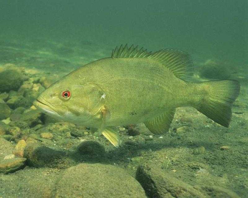 桂鱼胆固醇高吗桂鱼都有哪些营养价值